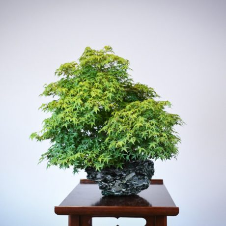 Kashima Japanese Maple planted on an ibigawa stone left side view