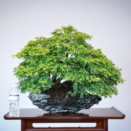 Kashima Japanese Maple planted on an ibigawa stone size comparison