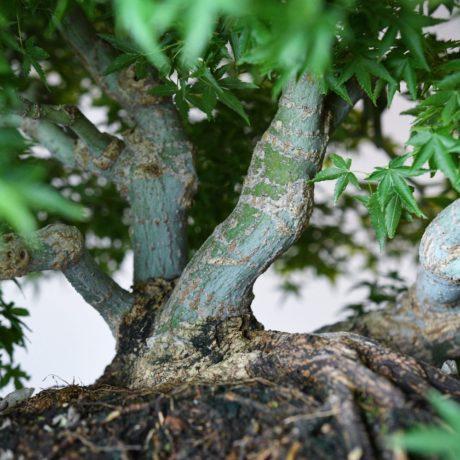 Kashima Japanese Maple planted on an ibigawa stone trunk close up
