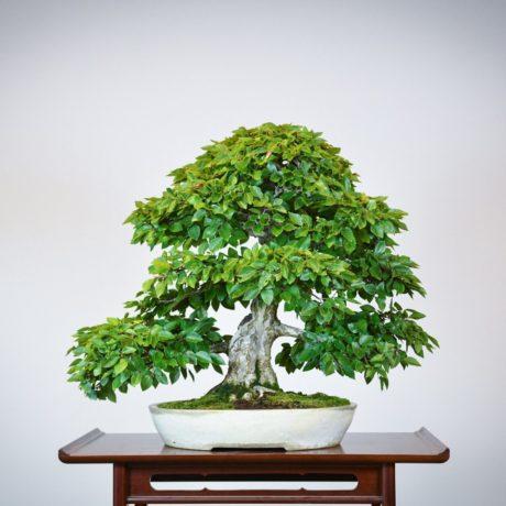 Korean Hornbeam bonsai tree back side view in cream oval pot