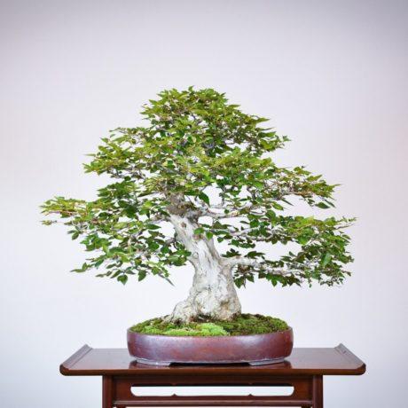 Korean Hornbeam bonsai tree back side view in purple oval pot