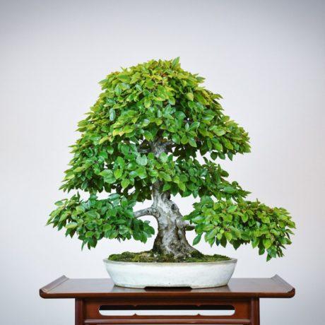 Korean Hornbeam bonsai tree in cream oval pot