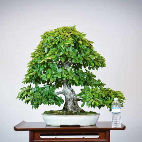 Korean Hornbeam bonsai tree in cream oval pot size comparison