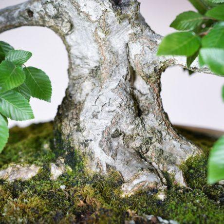 Korean Hornbeam bonsai tree in cream oval pot trunk close up