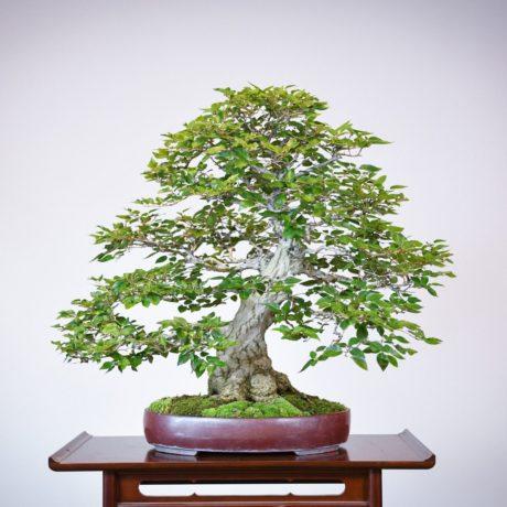 Korean Hornbeam bonsai tree in purple oval pot