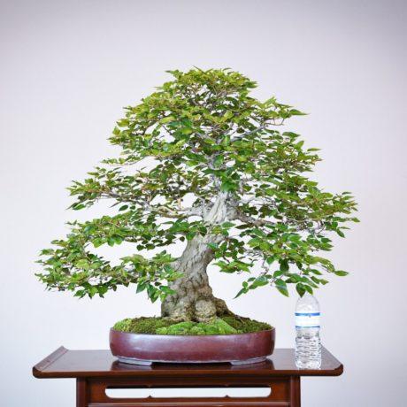 Korean Hornbeam bonsai tree in purple oval pot size comparison