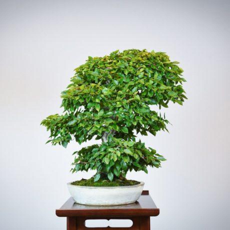 Korean Hornbeam bonsai tree left side view in cream oval pot