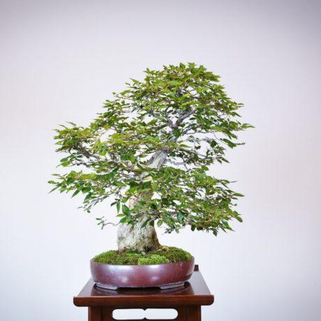 Korean Hornbeam bonsai tree left side view in purple oval pot
