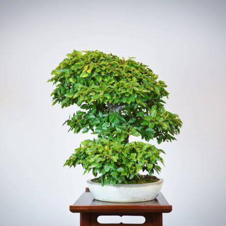 Korean Hornbeam bonsai tree right side view in cream oval pot