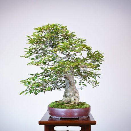 Korean Hornbeam bonsai tree right side view in purple oval pot