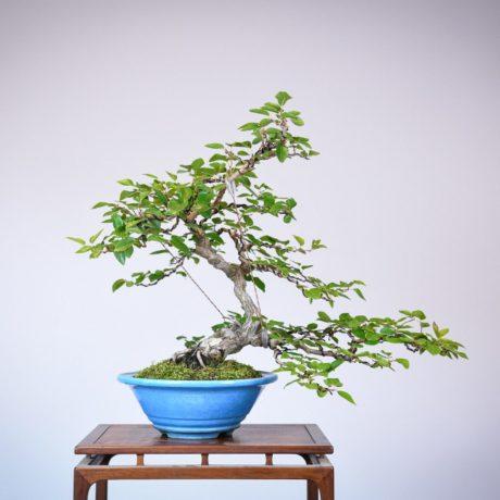 Korean Hornbeam in a blue tokoname pot