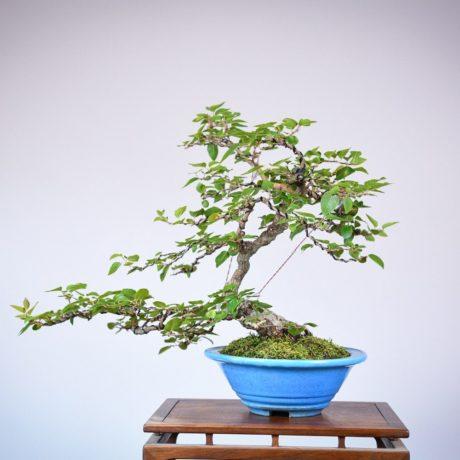 Korean Hornbeam in a blue tokoname pot back view