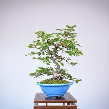 Korean Hornbeam in a blue tokoname pot left side view