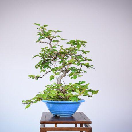 Korean Hornbeam in a blue tokoname pot right side view