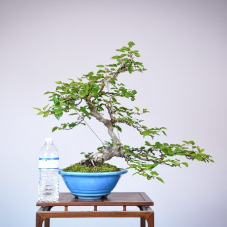 Korean Hornbeam in a blue tokoname pot size comparison