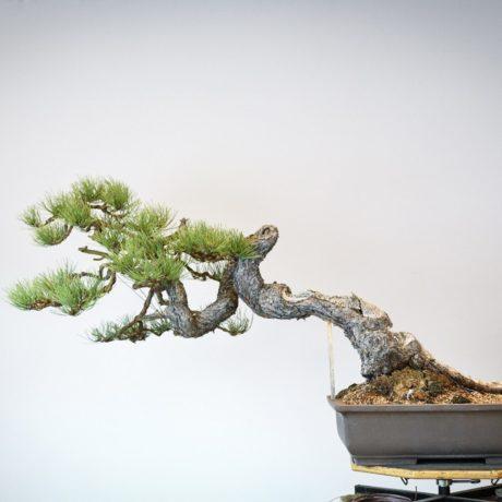 Ponderosa Pine bonsai with snaking trunk back view
