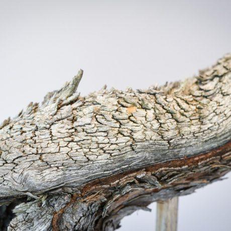 Ponderosa Pine bonsai with snaking trunk fissured deadwood