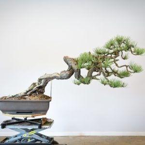 Ponderosa Pine bonsai with snaking trunk front view