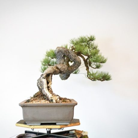 Ponderosa Pine bonsai with snaking trunk left side view