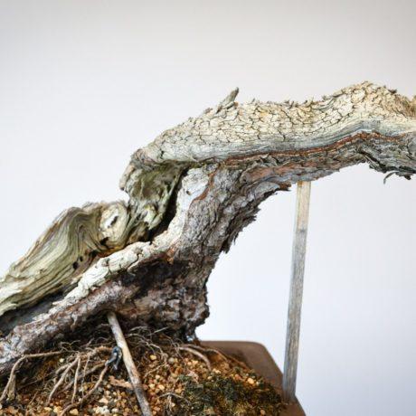 Ponderosa Pine bonsai with snaking trunk shari close up