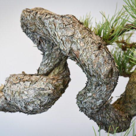 Ponderosa Pine bonsai with snaking trunk up close