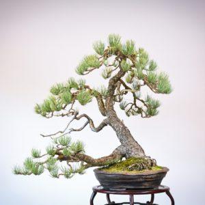 Ponderosa Pine in Marc Berenbrinker pot