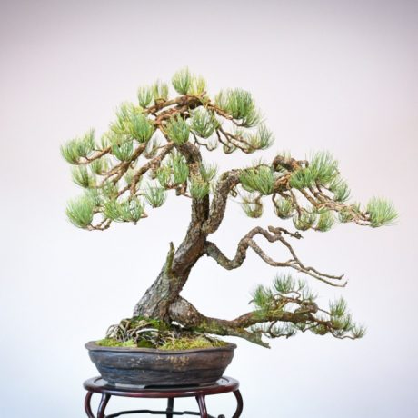 Ponderosa Pine in Marc Berenbrinker pot back view