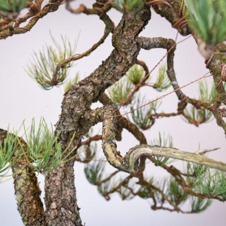 Ponderosa Pine in Marc Berenbrinker pot jin close up