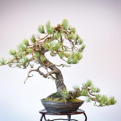Ponderosa Pine in Marc Berenbrinker pot left side view