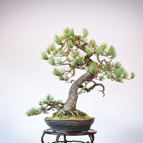 Ponderosa Pine in Marc Berenbrinker pot right side view