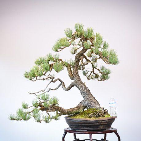 Ponderosa Pine in Marc Berenbrinker pot size comparison