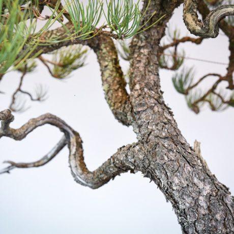 Ponderosa Pine in Marc Berenbrinker pot trunk close up