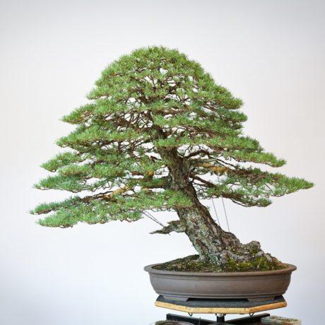 RAF Scots Pine bonsai