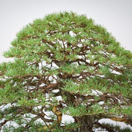 RAF Scots Pine bonsai apex