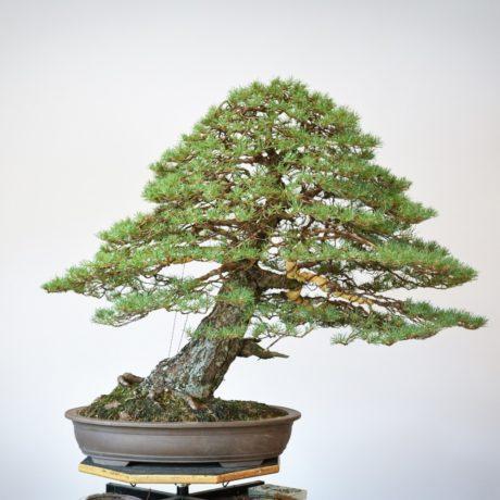 RAF Scots Pine bonsai back view