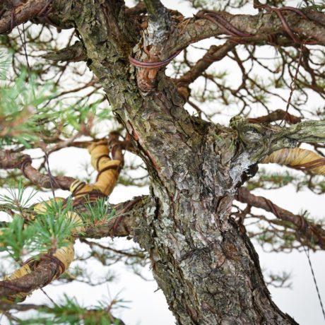 RAF Scots Pine bonsai branching and upper trunk