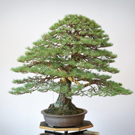 RAF Scots Pine bonsai left side view