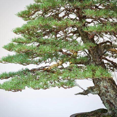RAF Scots Pine bonsai lowest branch