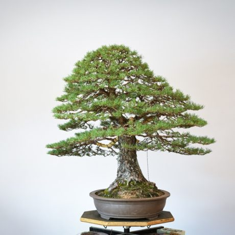RAF Scots Pine bonsai right side view