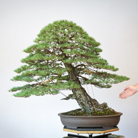 RAF Scots Pine bonsai size comparison