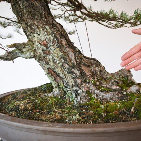 RAF Scots Pine bonsai trunk size comparison