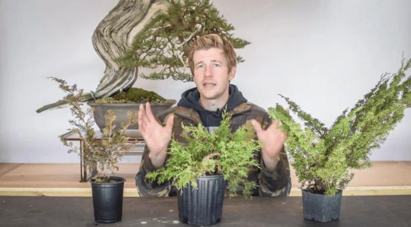 Shohin shimpaku juniper bonsai part one
