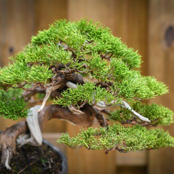 Shohin shimpaku juniper with shari and green foliage