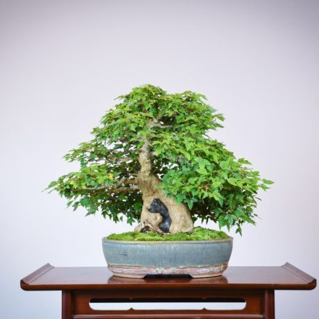 Trident Maple root-over-rock bonsai in a Sara Rayner pot