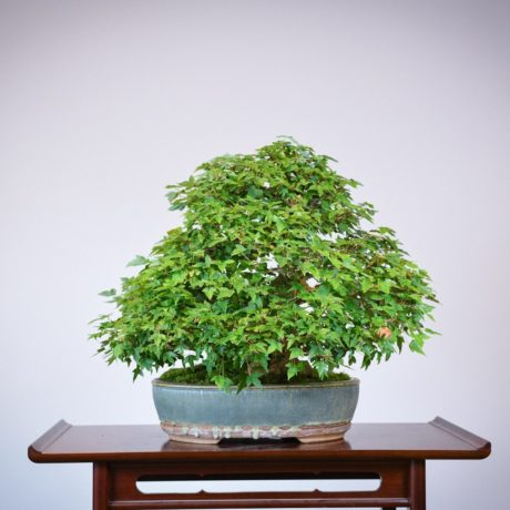 Trident Maple root-over-rock bonsai in a Sara Rayner pot back view