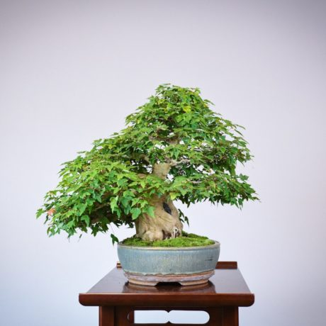 Trident Maple root-over-rock bonsai in a Sara Rayner pot left side view