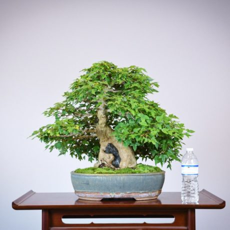 Trident Maple root-over-rock bonsai in a Sara Rayner pot size comparison