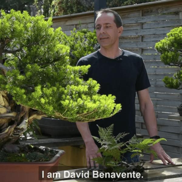 Yew bonsai with David Benavente