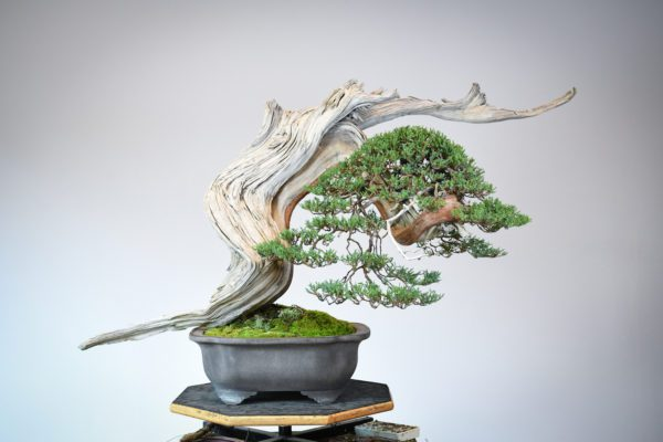 Rocky Mountain juniper bonsai for the US National Bonsai Exhibition
